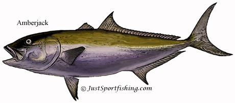 Amberjack illustration