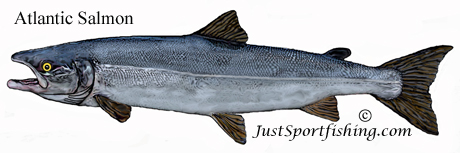 Atlantic Salmon picture