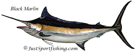 Black Marlin illustration
