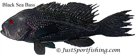 black sea bass illustration