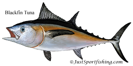 Blackfin Tuna illustration