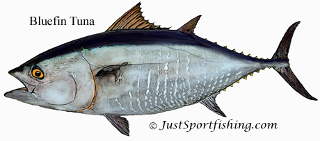 Bluefin Tuna illustration