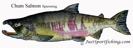 Chum Salmon Spawning illustration