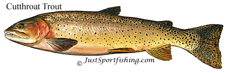 Cutthroat trout picture