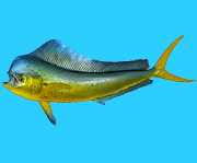 The fish species Mahi Mahi or Dorado