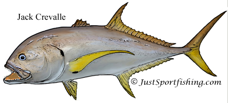 Jack Crevalle illustration