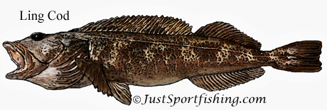 Ling Cod illustration