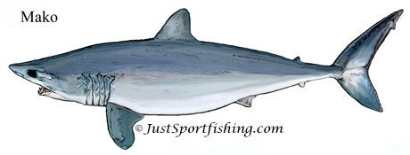 Mako Shark illustration