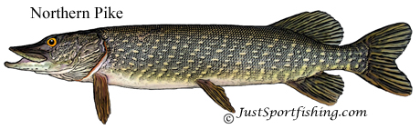 Northern Pike picture