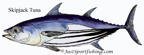 Skipjack Tuna illustration