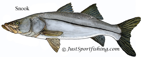 Snook illustration