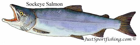 Sockeye Salmon illustration