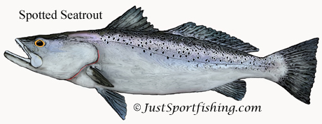 Spotted Seatrout illustration