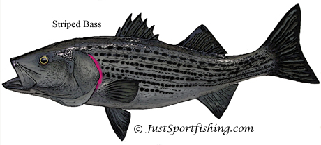 Striped Bass picture