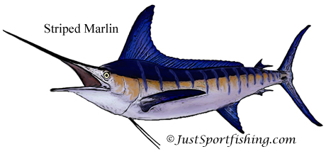 Striped Marlin illustration