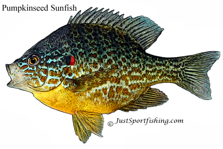 Pumpkinseed Sunfish picture