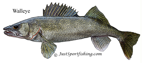 Walleye picture