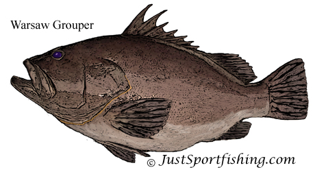 Warsaw Grouper illustration