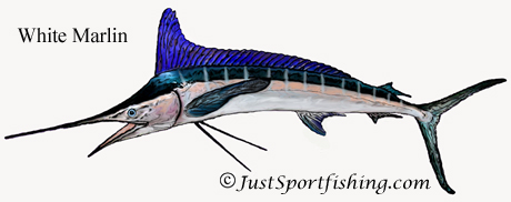 White Marlin illustration