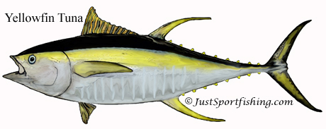 Yellowfin Tuna picture