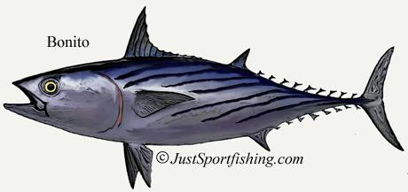 Bonito Tuna picture