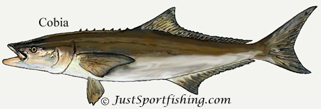 cobia illustration